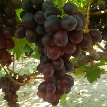 cretanroot-autumn-pearl-grape-stafili