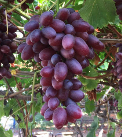 cretanroot-crimson-seedless-grape-stafili