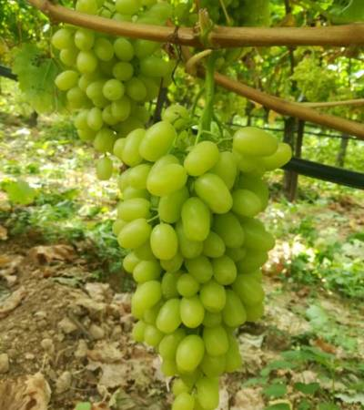 cretanroot-grapes-1