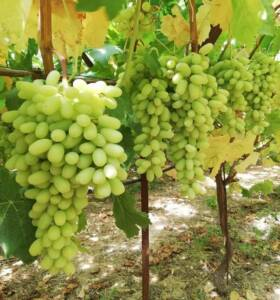 cretanroots-grape-homepage